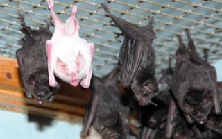 Как избавиться от летучих мышей в доме?